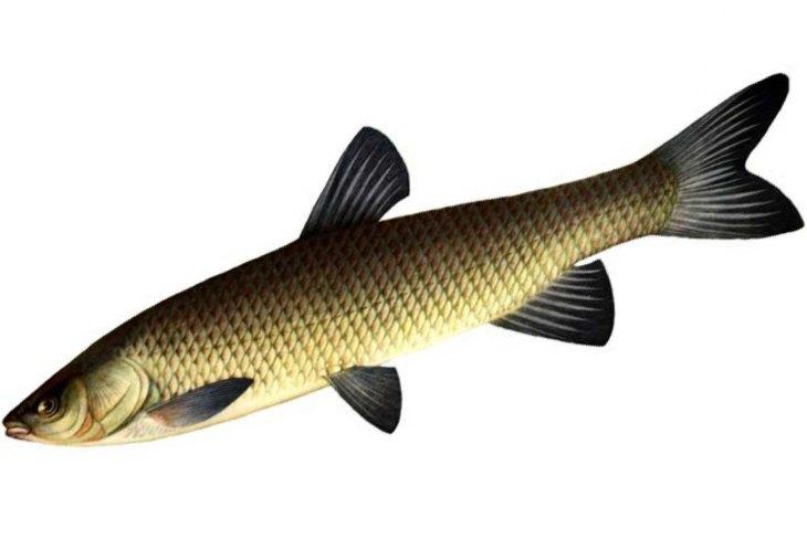 Рыба белый амур🐟: фото и описание. Как выглядит белый амур👍, чем питается и где водится