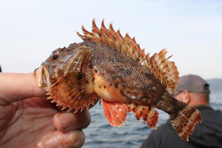 накручиваем скорпена залива петра великого фото способов размножения