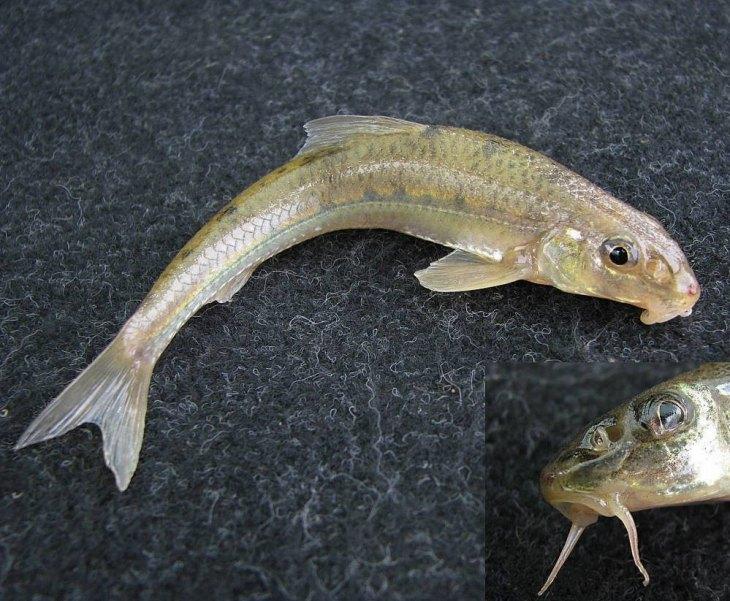 фото речной рыбы с горбинкой мастер-фотограф помощником, это