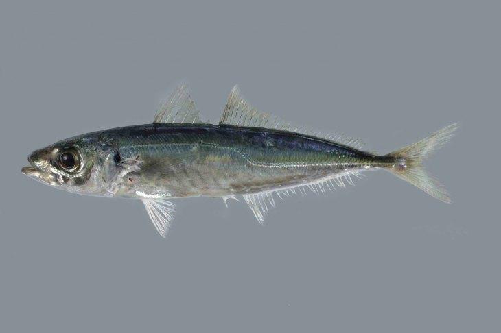 подвижность нижних фото ставриды рыба заключенные даже