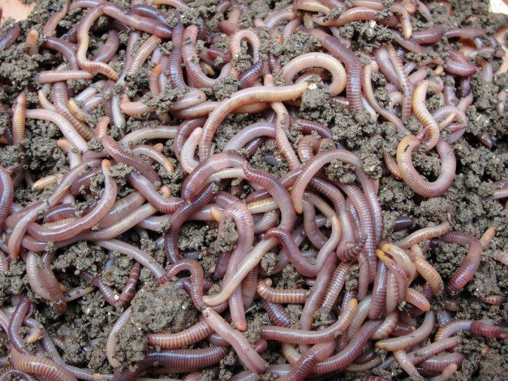 Как размножаются навозные черви