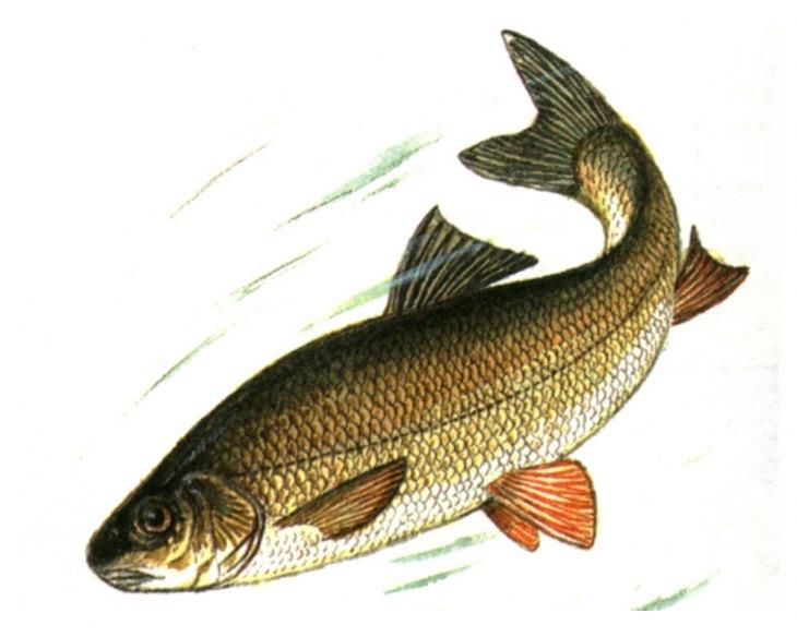 вид рыбы на картинке в реке сити время